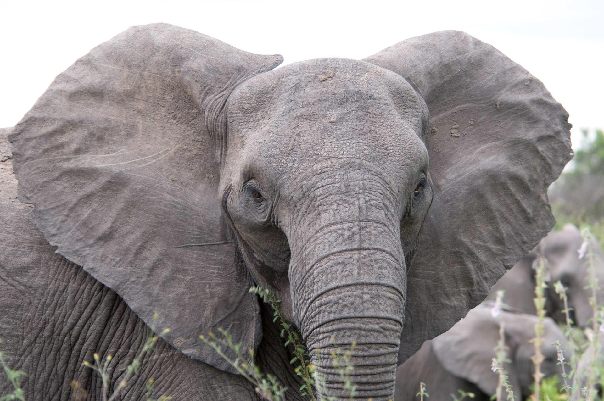 grote oren van de olifant, foto Chris Earson, Wikipedia