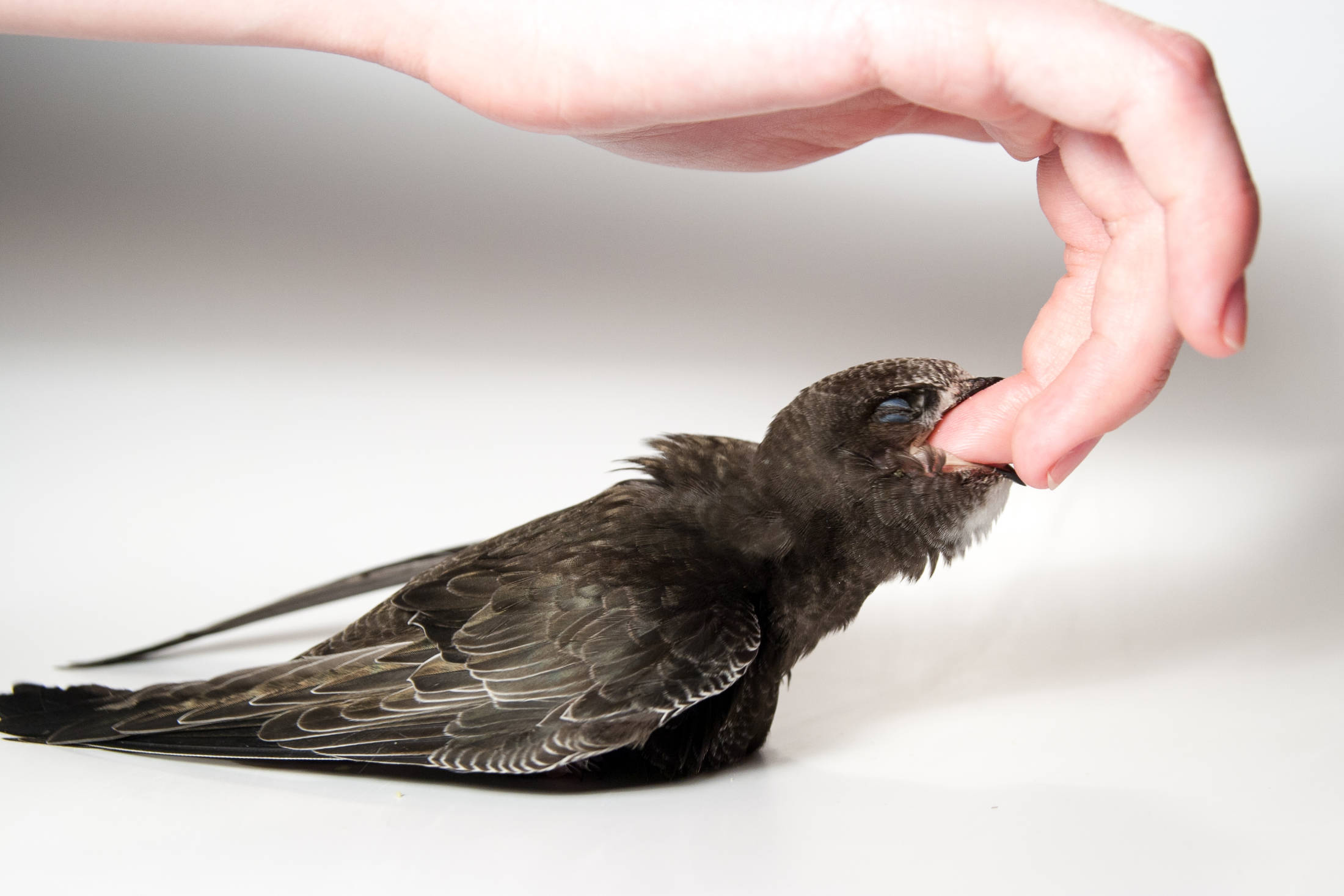 Gierzwaluw, jong, Apus apus, Common Swift.