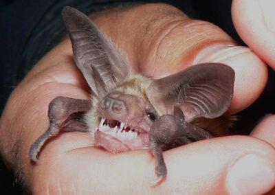Vleermuizen met grote oren- Pallid met lange oren - laat zijn tandjes zien