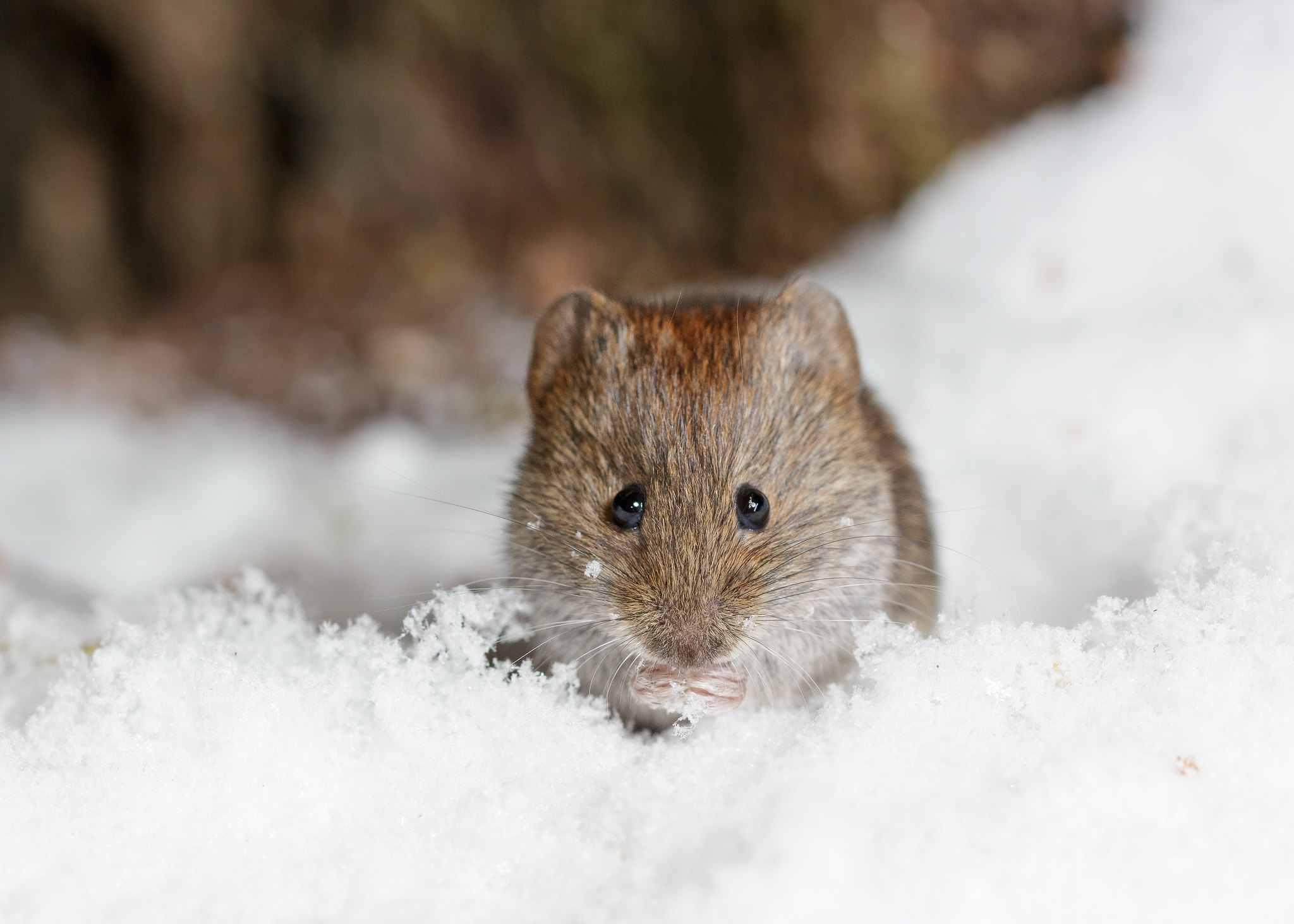 Overwinteren-een muis in de sneeuw