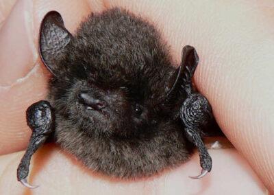 Vleermuizen - myotis - schattig snuitje