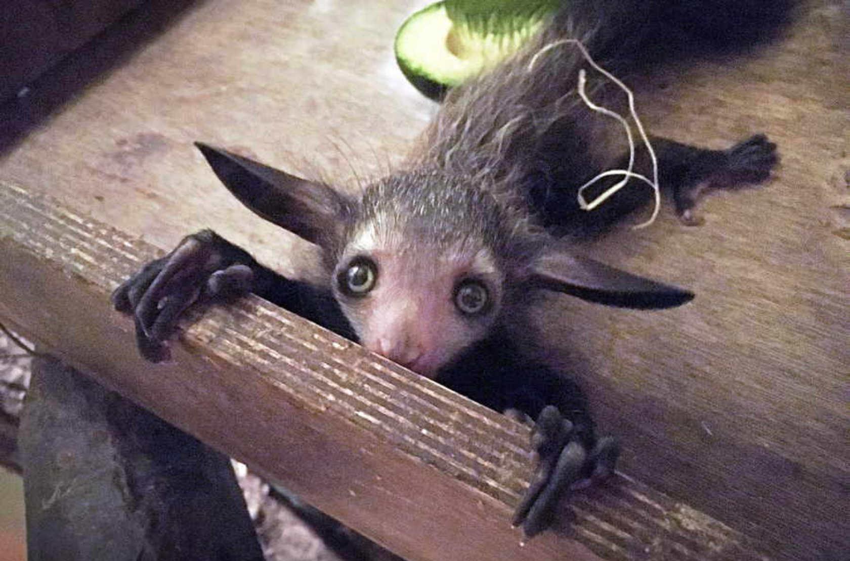 grote oren van de baby aye aye