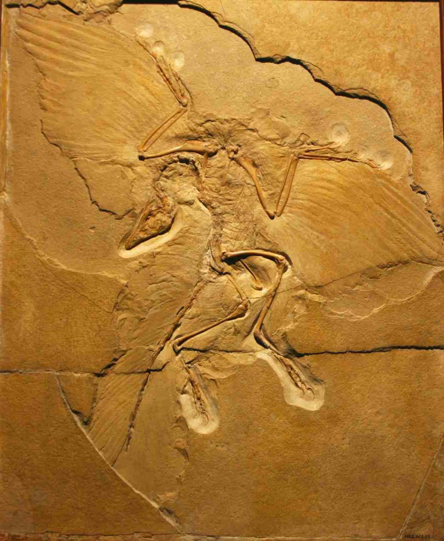 Archaeopteryx, foto Heinrich Mallison