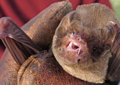 Vleermuizen - mormoops - laat zijn tandjes zien