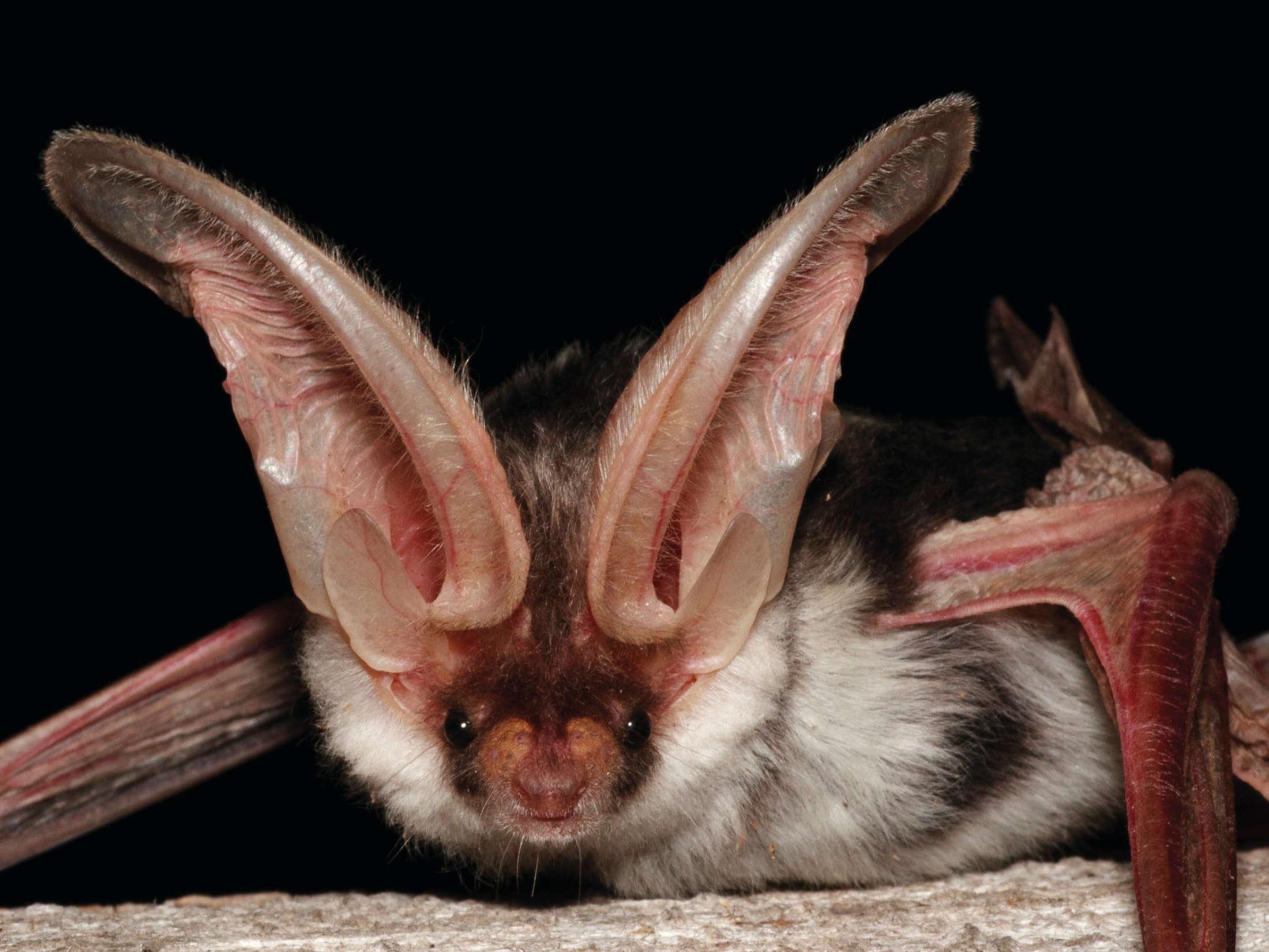 Grote oren, spotted bat, Noord Amerika, Bat Conservation International, Minden Pictures, Flickr CC lic.