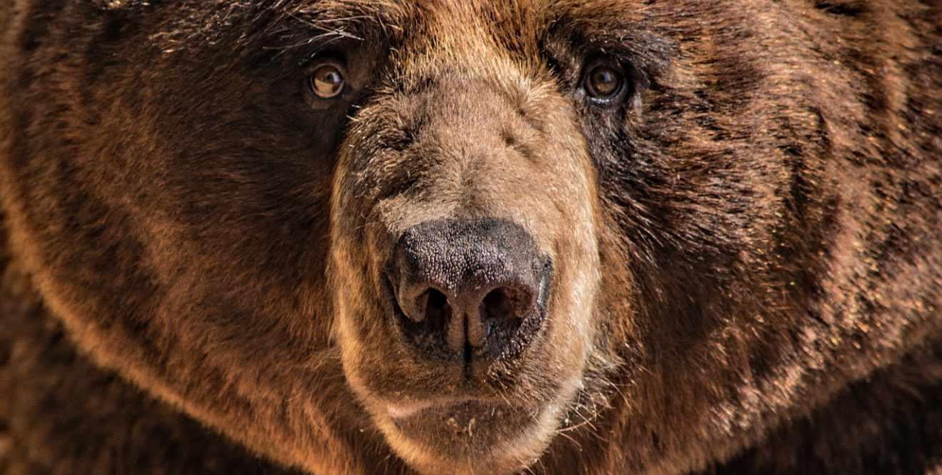 Top 3 beste neus - 2de plaats de grizzly beer neus