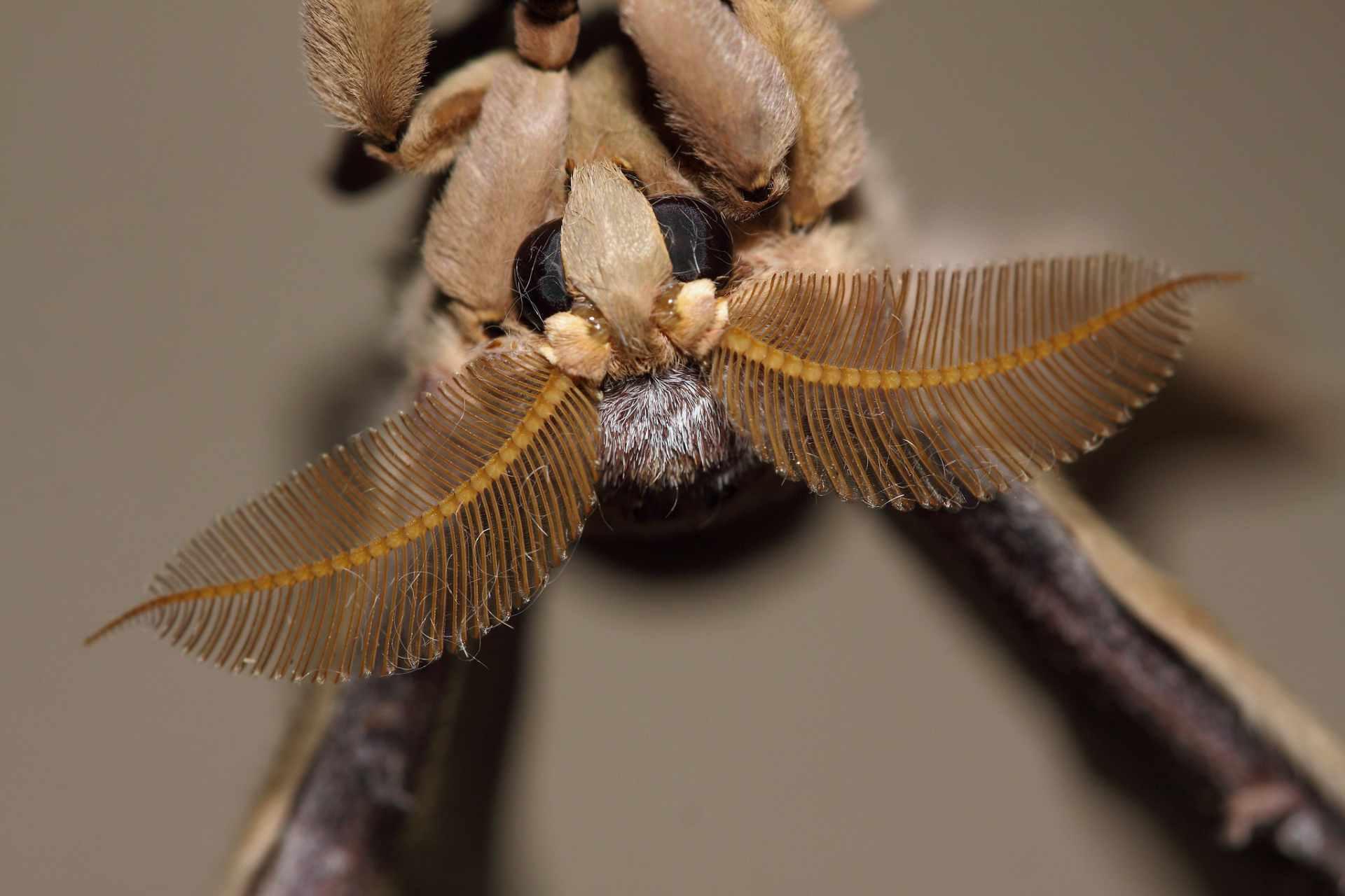 Top 3 beste neus - de chinese zijdevlinder - ruiken met je antennes,  foto van Dean Morley CC lic. Flickr