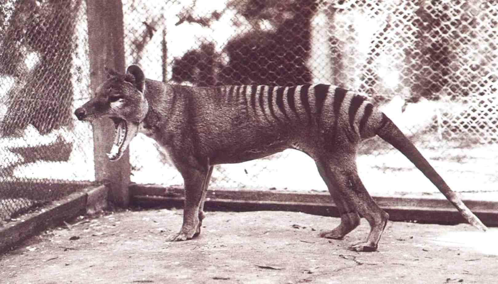 Tasmaanse buidelwolf, foto wikipedia