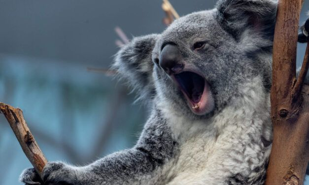 over killer koala's en andere dwaze dieren