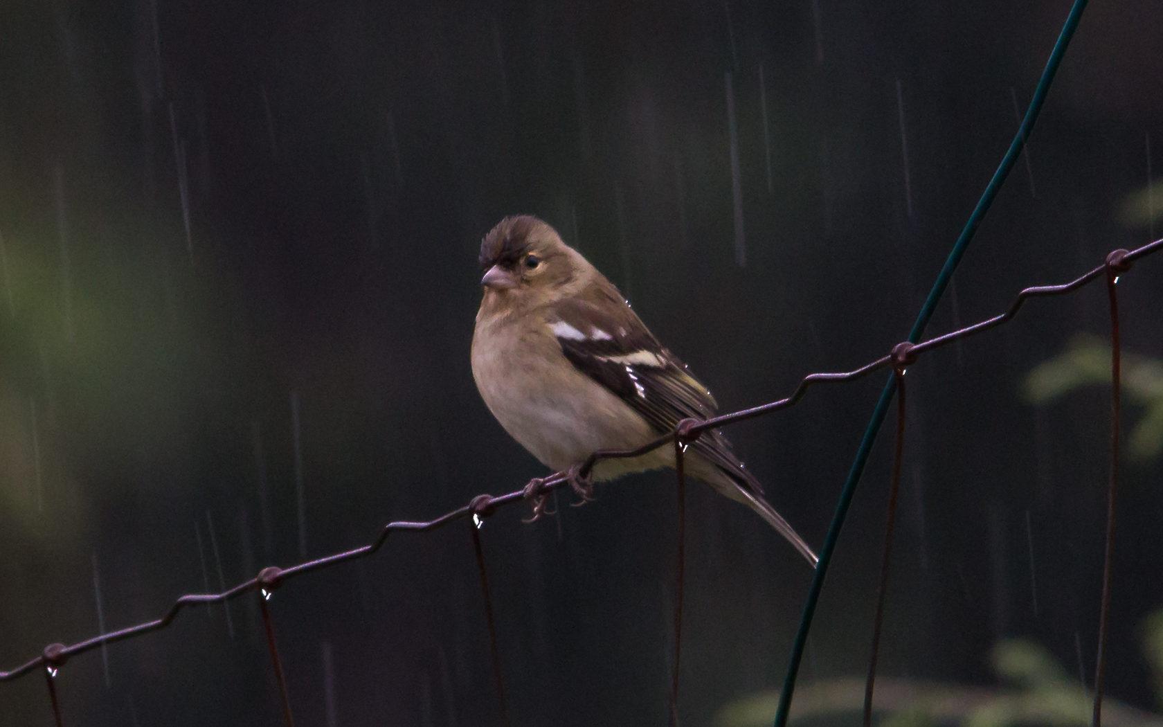 Natte vogel in de regen