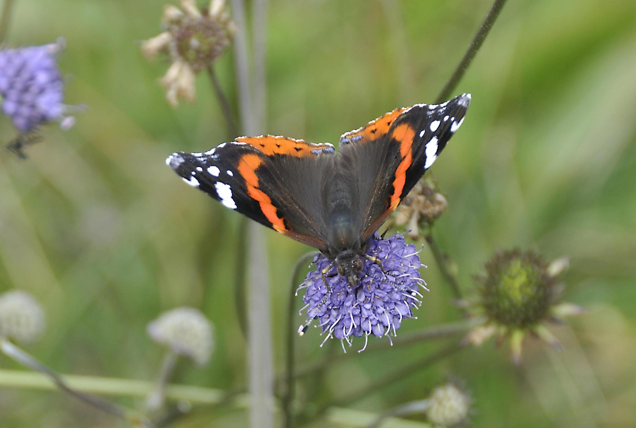 van rups tot vlinder, atalanta