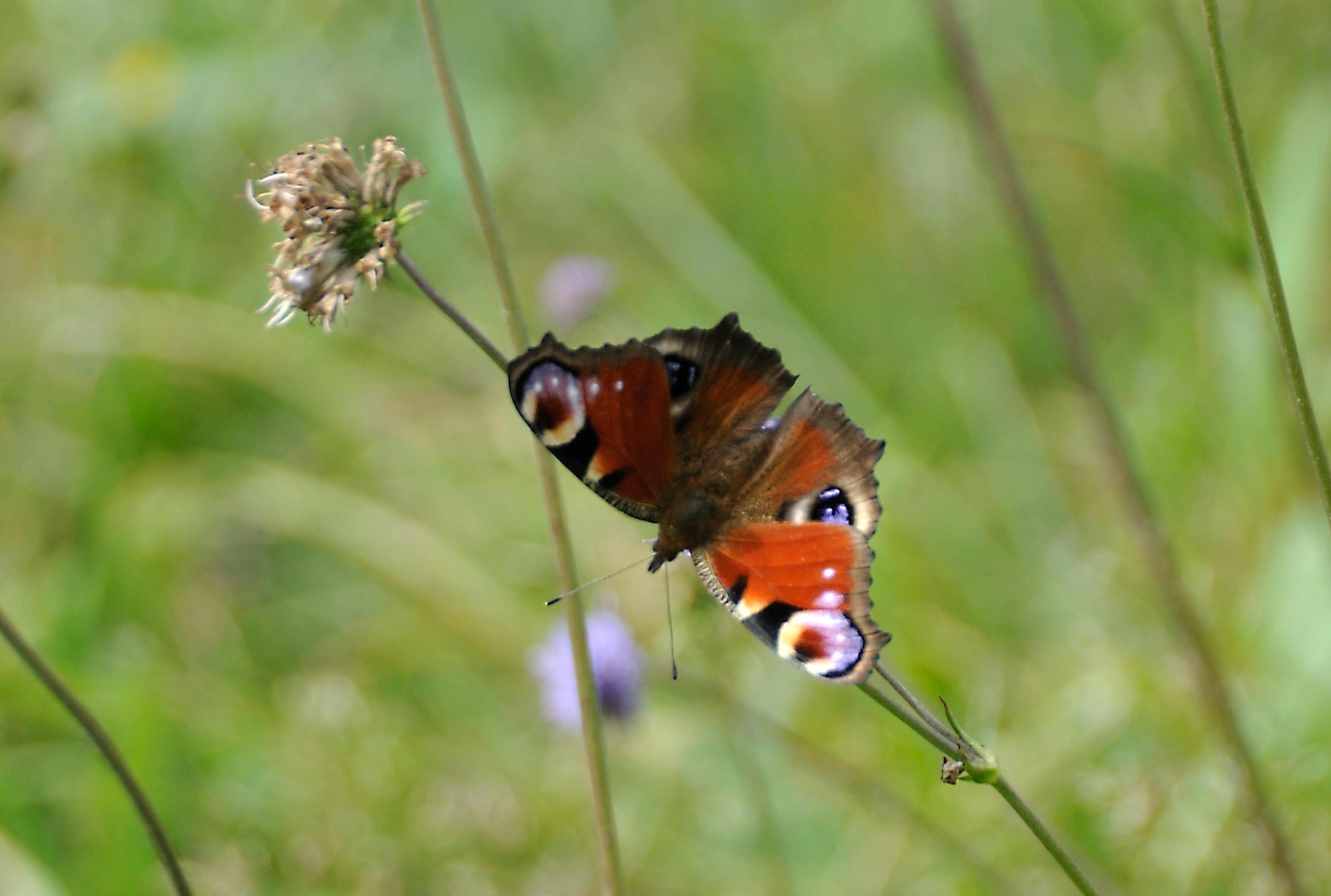 van rups tot vlinder, dagpauwoog