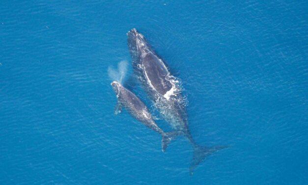 grootste walvis : de blauwe vinvis